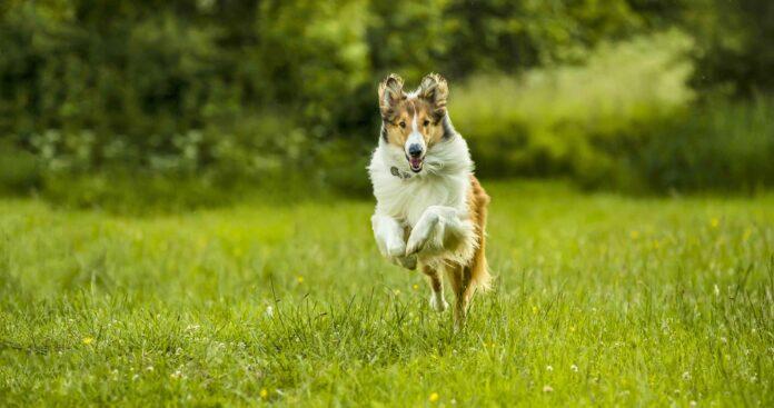Lassie torna a casa recensione film di Hanno Olderdissen con Nico Marischka